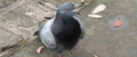 Pest Proofing your Home against Pigeons